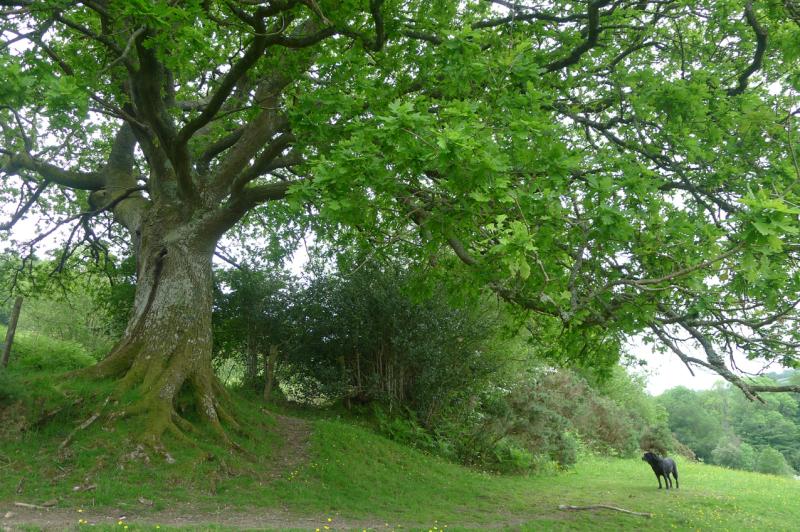 Old Oak 7