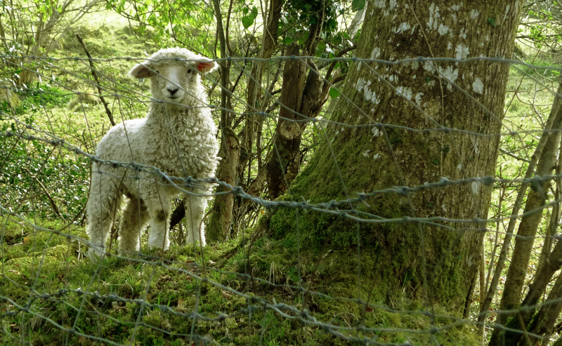 Lamb by the leat