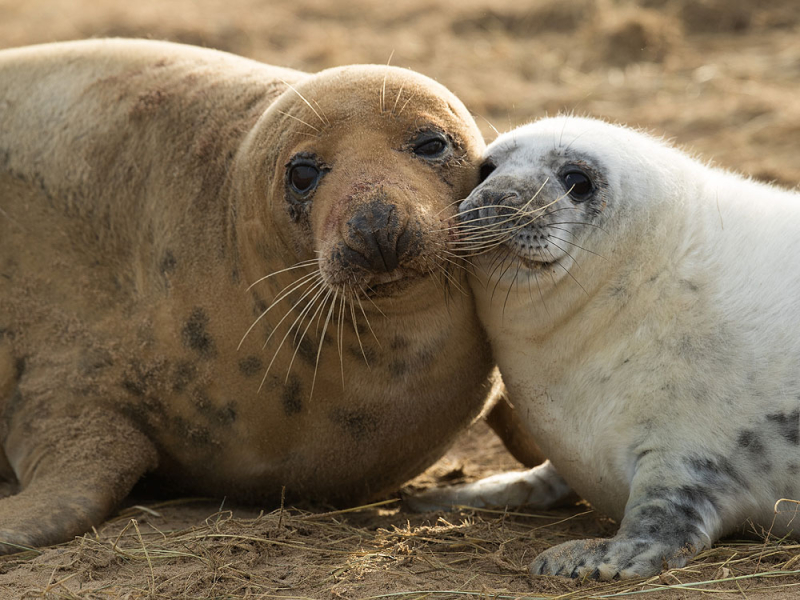 Grey seal and pup, Lincolnshire. Photograph by Dan Kitwood.