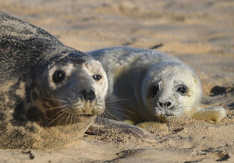 Grey Seal and pup, Norfolk. Photograph by Friends of Horsey Seals.