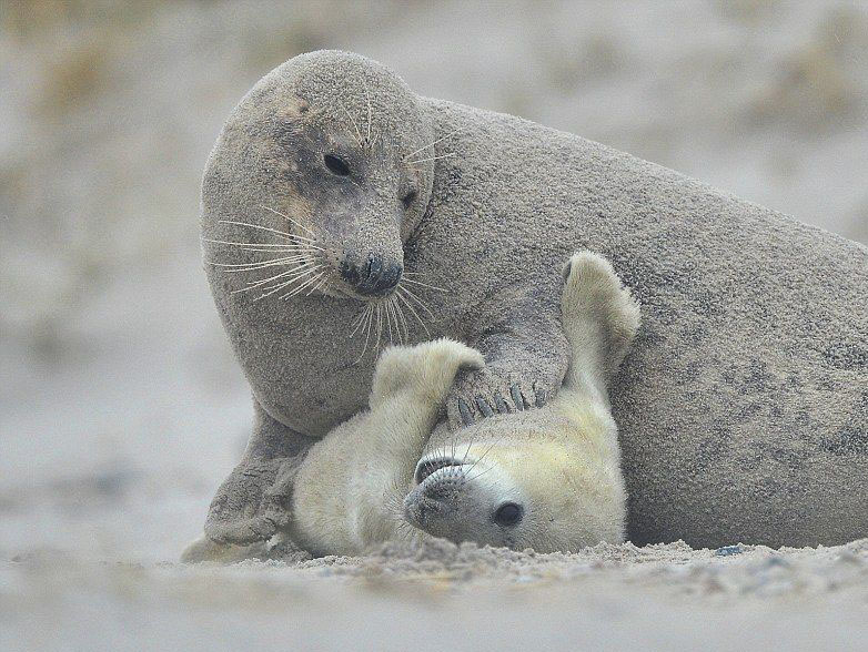Seal mother tickling her pup. Photograph by Elmar Weiss.