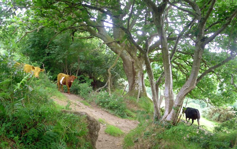 Cows 7