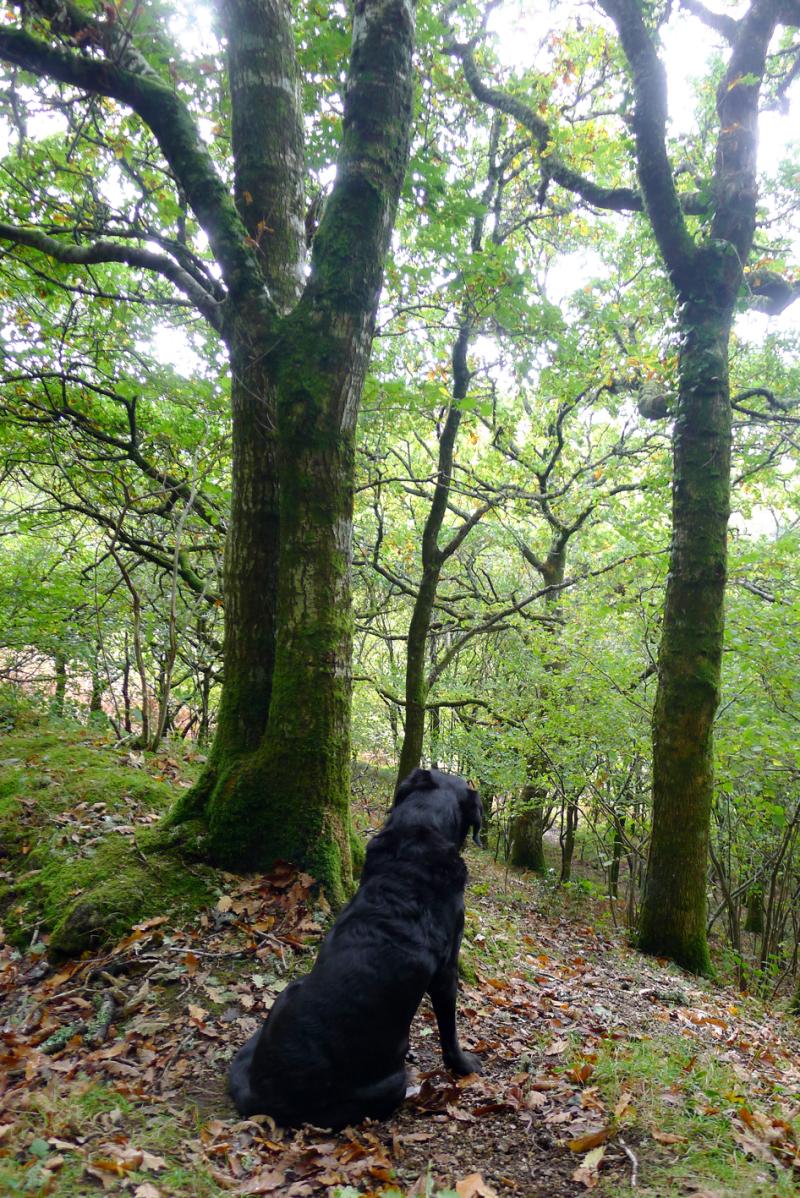 Woodland hound