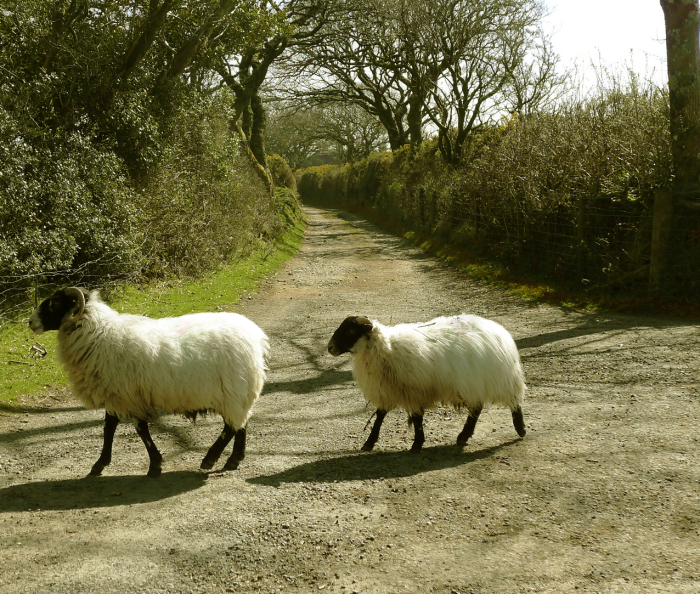 Sheep crossing