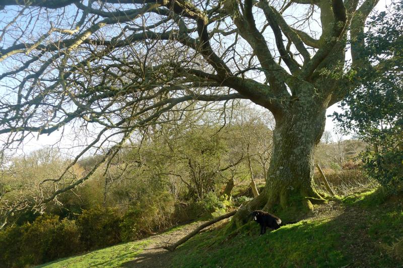 Old Oak 3