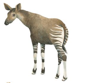 Okapi by Marieke Nelissen