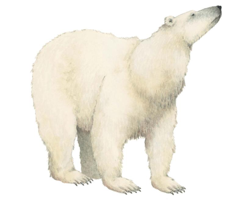 Polar Bear by Marieke Nelissen