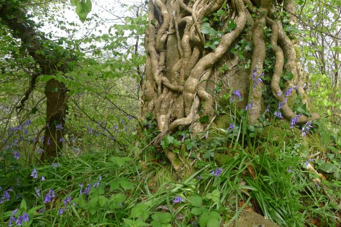 Ivy, beech, and bluebells