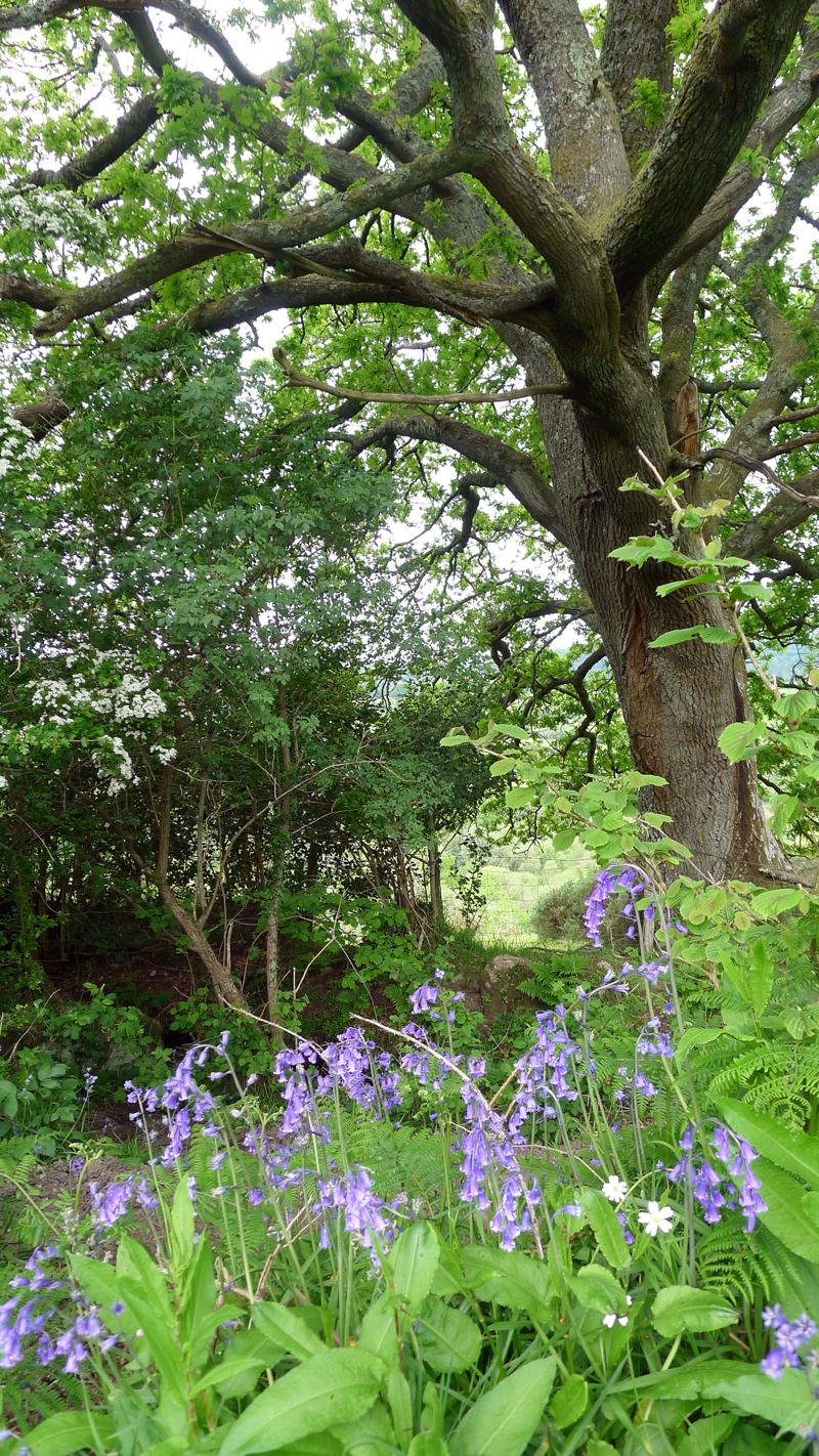 Bluebells and oak