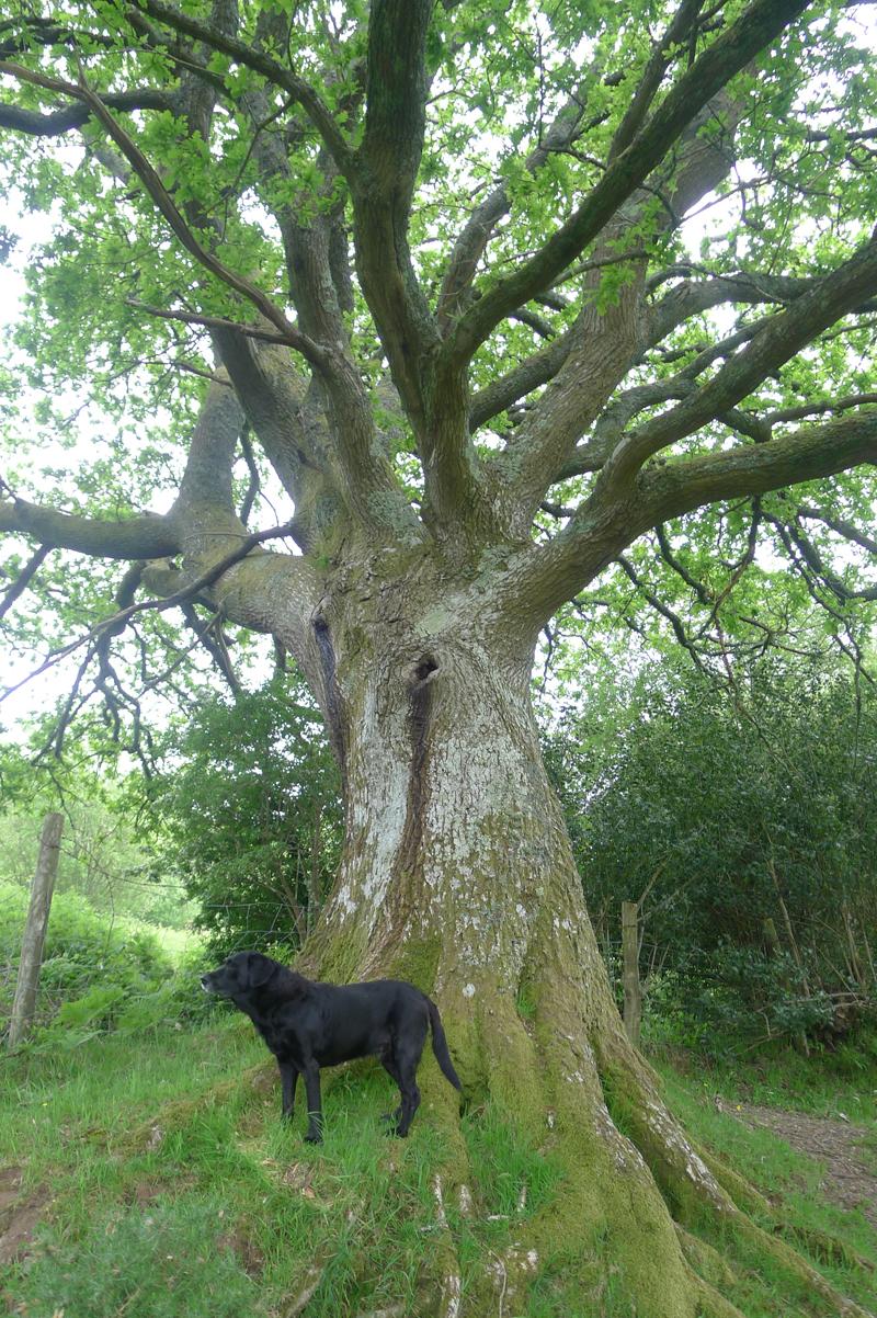 Old Oak 8