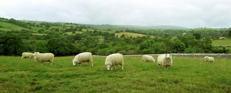 Sheep in a Devon field