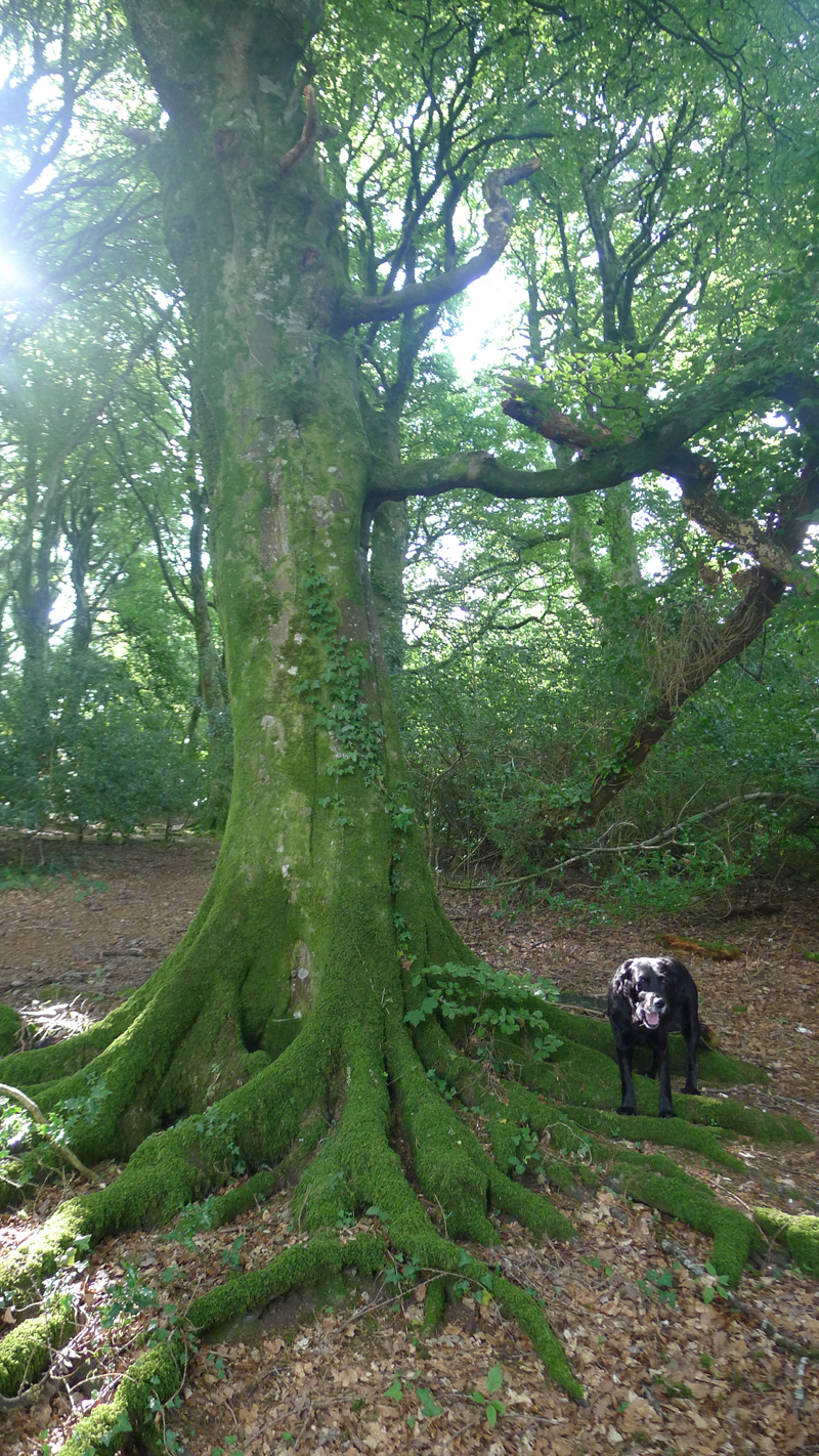 Tilly in the beechwood