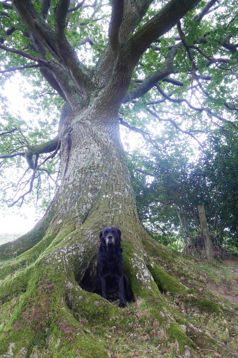 Oak and hound