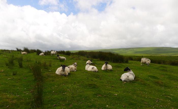Sheep on Dartmoor near the Scorhill stone circle